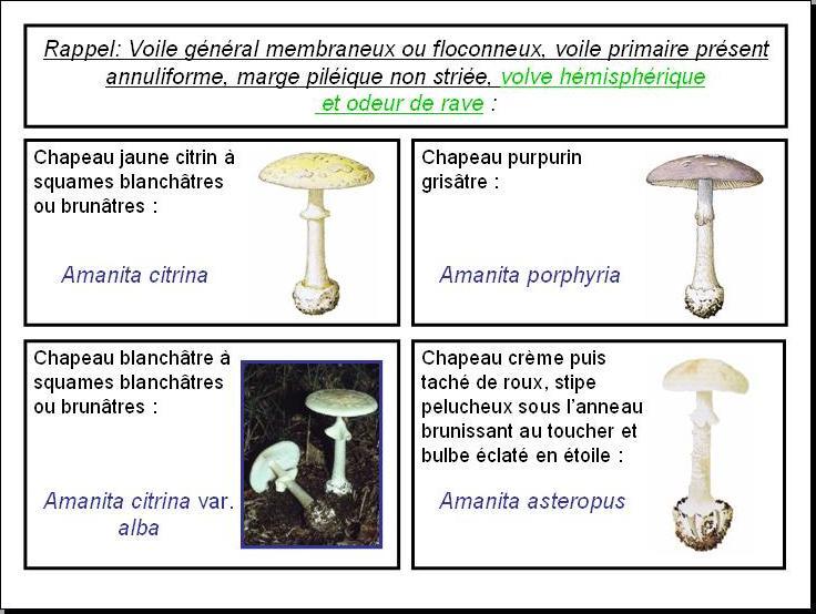 clicamanites cle de determination des champignons de la famille des amanitaceae etape 39 cle. Black Bedroom Furniture Sets. Home Design Ideas